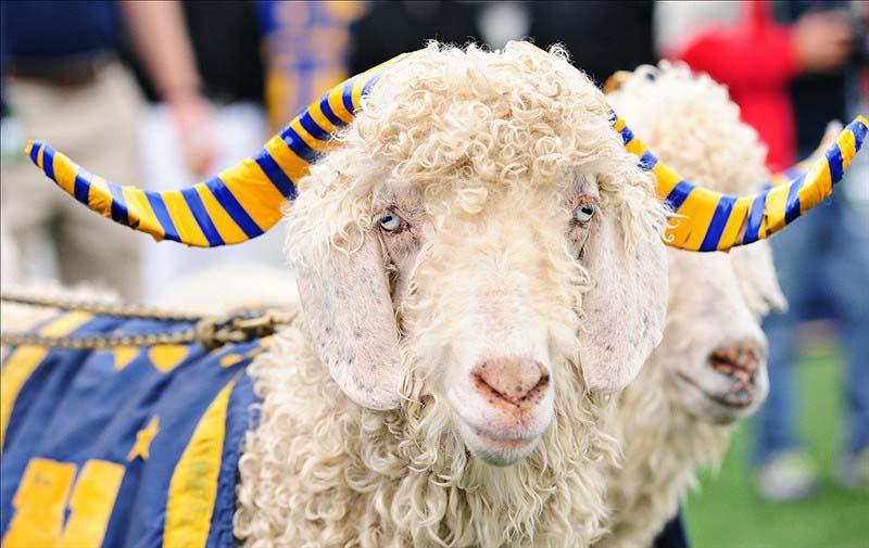 Bill the Goat in 2011. US Presswire Photo