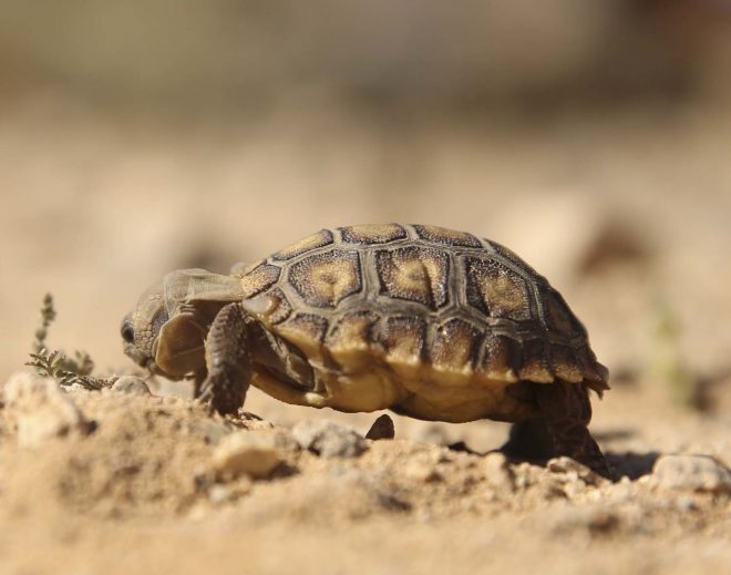 After Delay, Marines Relocate Desert Tortoise to Make Way for Expanded Training