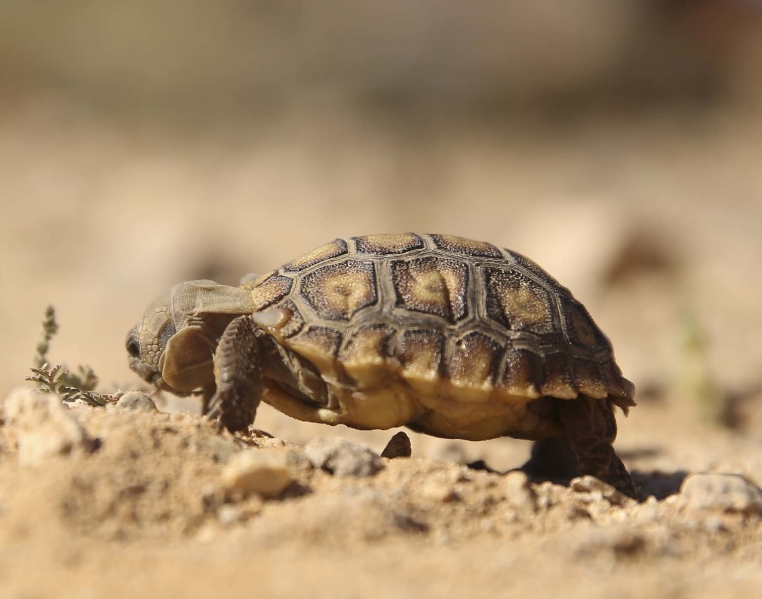 After Delay, Marines Relocate Desert Tortoise to Make Way ...